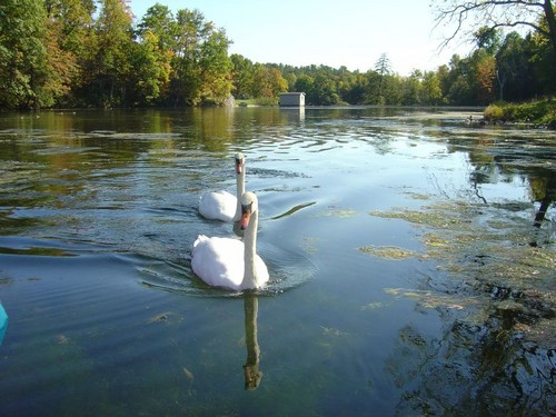 Swans in a pond photo